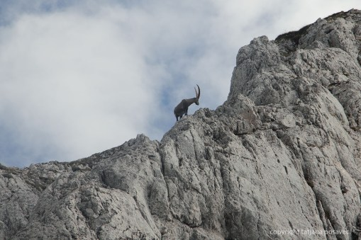 Alter Steinbock auf Felsvorsprung