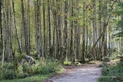 Stangenwald aus jungen Ahornbäumen
