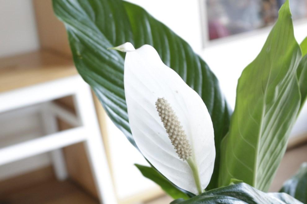 Einblatt Nahaufnahme gepflanzt im AIRY pot