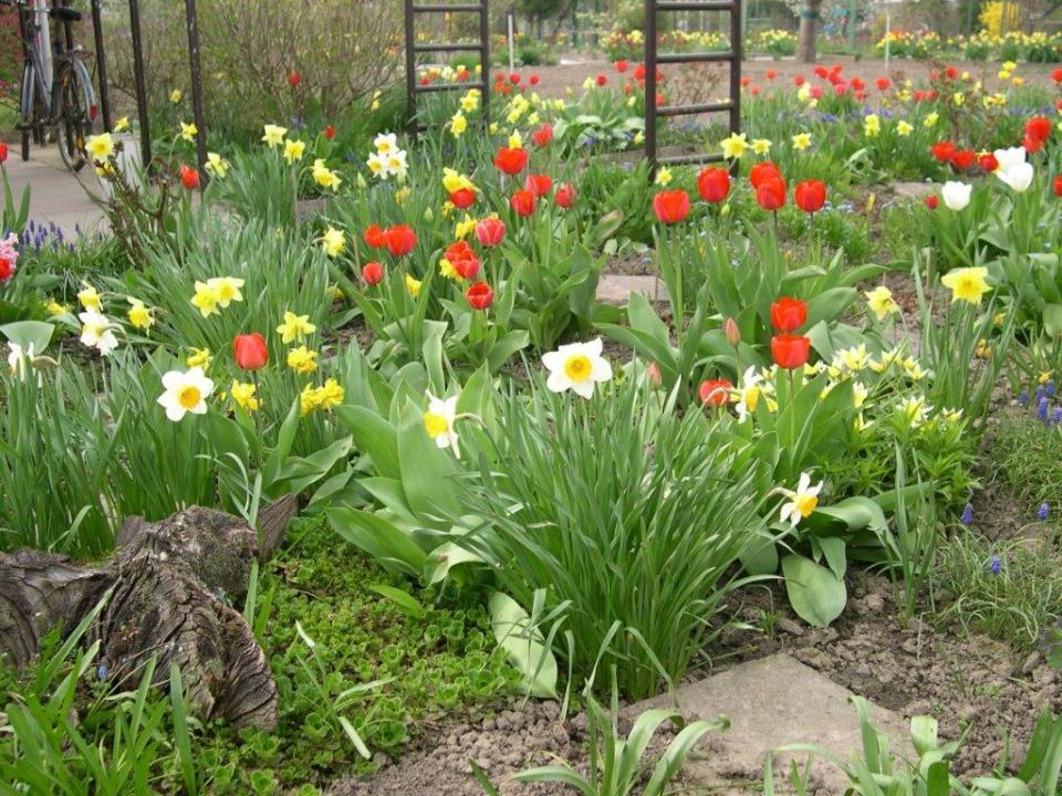 Tulpen-Lamby