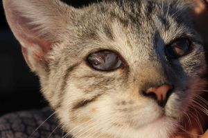 Herpeskeratitis Der Katze Kleintierpraxis Dr Nina
