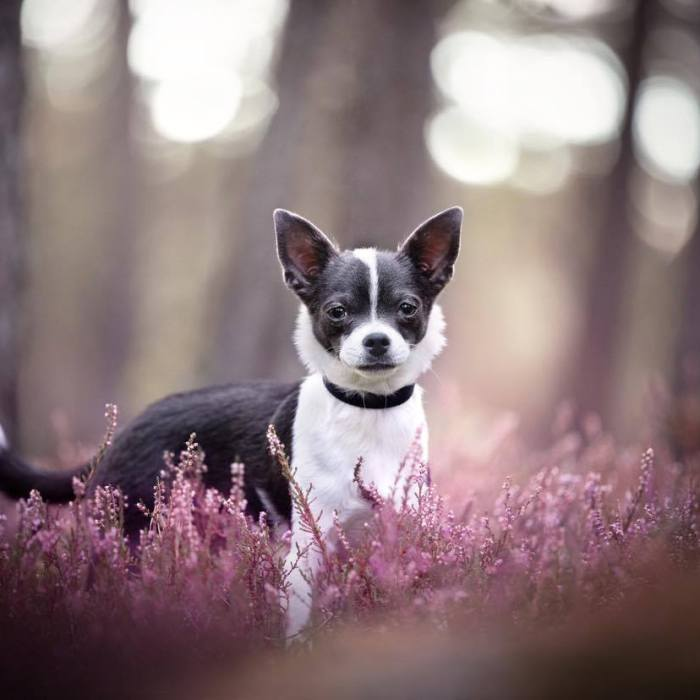 Livmoderinflammation hos hund