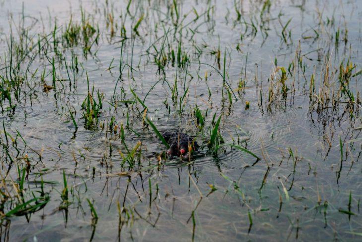 Kein Halt, nirgend: Ein Maulwurf schwimmt um sein Leben