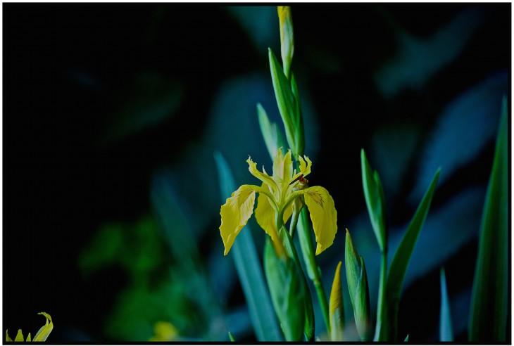 Foral, fragil, fatal: Lilie (Foto © J. Schäfer)