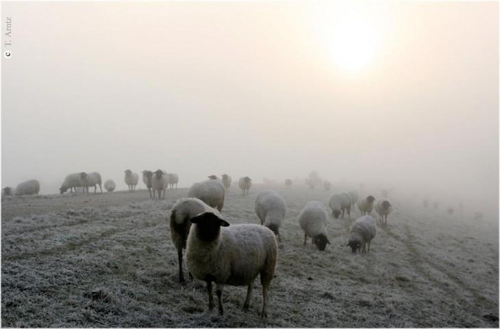 50 sheeps of grey