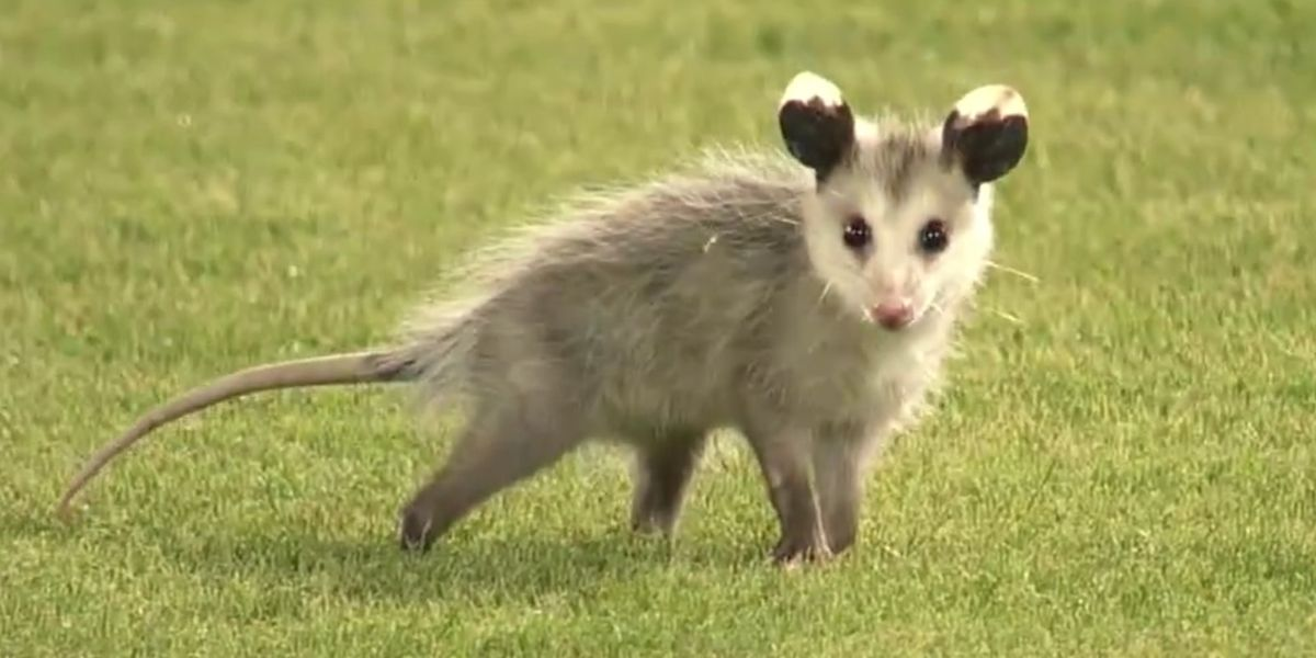 Rally Possum_1557246945789.jpg.jpg