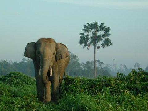 Imágenes elefantes Sumatra