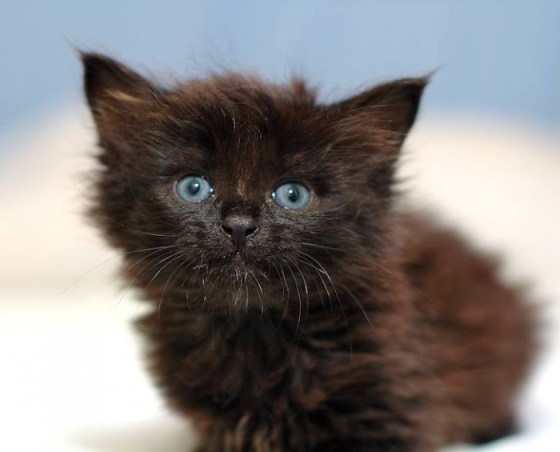 Foto gato negro ojos azules
