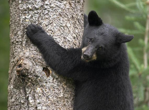 Imagen oso en arbol