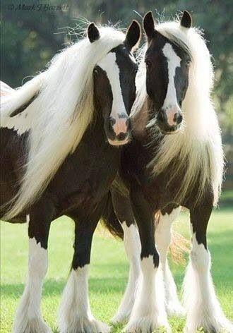 Hermosa fotografia de caballos pinto melenudos