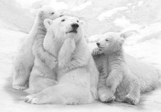 Imagenes Osos Tierna imagen osa polar con sus oseznos
