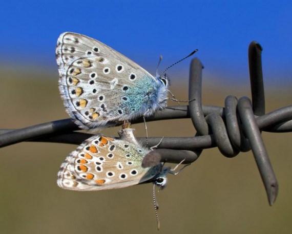 Imagen de Mariposas sobre alambre de puas