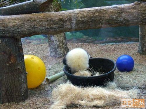 Fotografia osito panda jugando