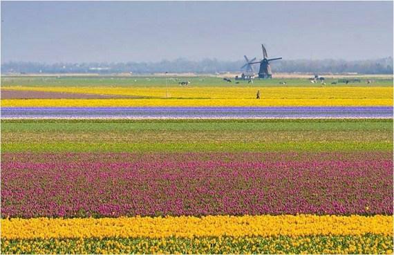 sembradio de flores y molinos de viento