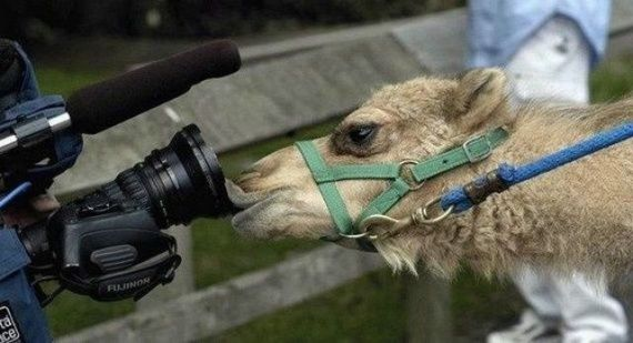 Fotos locas: imagen divertida de camello