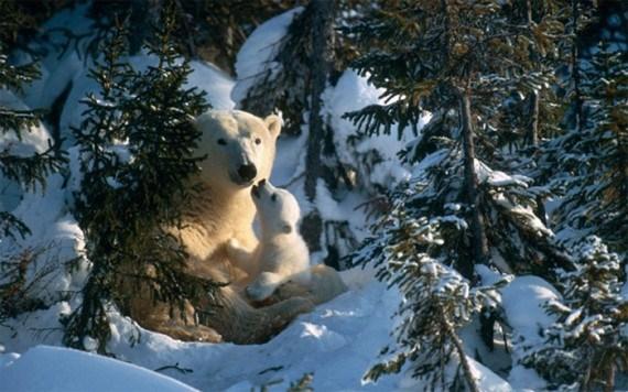 Fotos osos polares crias bebes