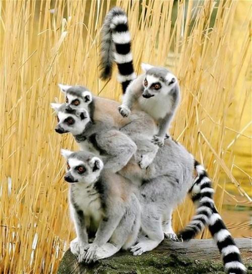 imagenes de lemures