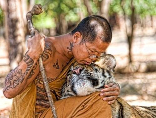 Fotografia tierna de tigre con monje budista