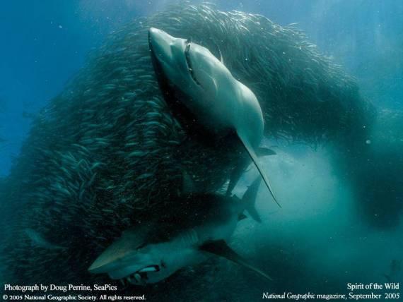 Impresionante imagen de tiburon atacando cardumen de peces
