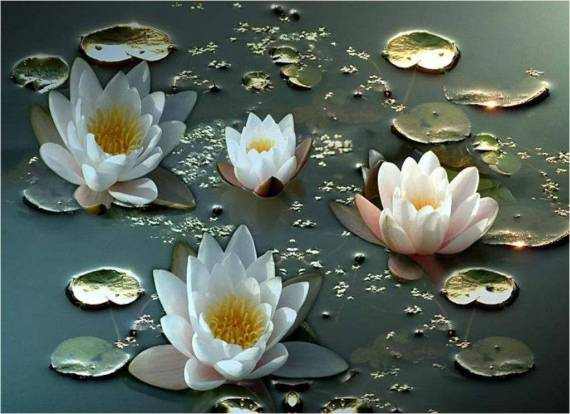 Fotografia flores de loto