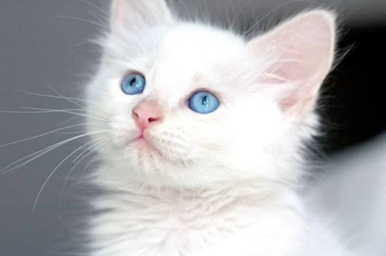 fotografias de gatos blanco de ojos azules