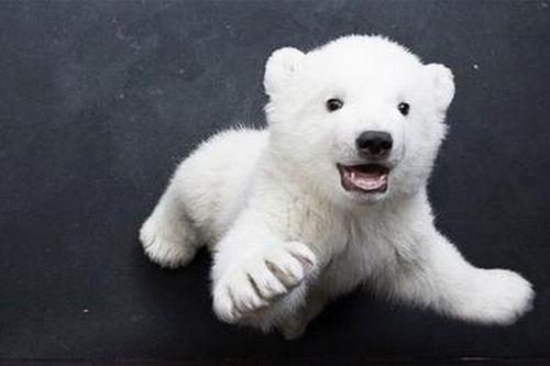 Imagen Tierna De Oso Polar Bebe 1 4 16