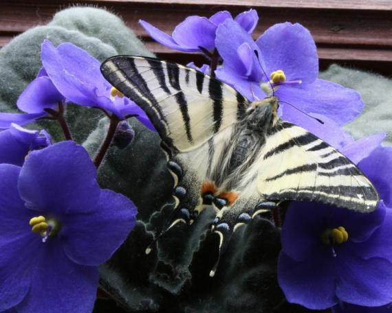 imagenes de mariposas - fotos