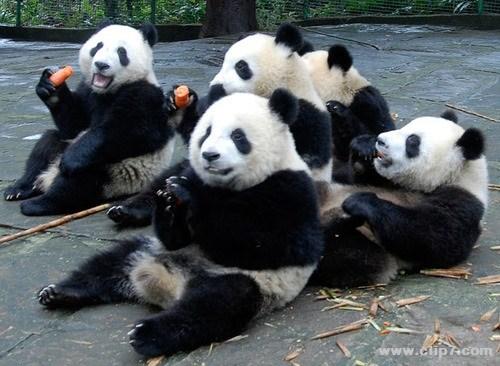 fotografia de osos panda comiendo