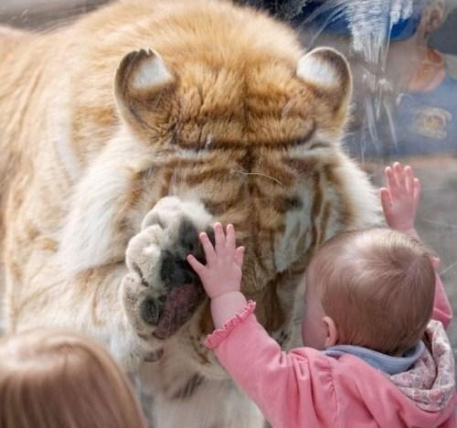 Imagen tierna de bebe y tigre