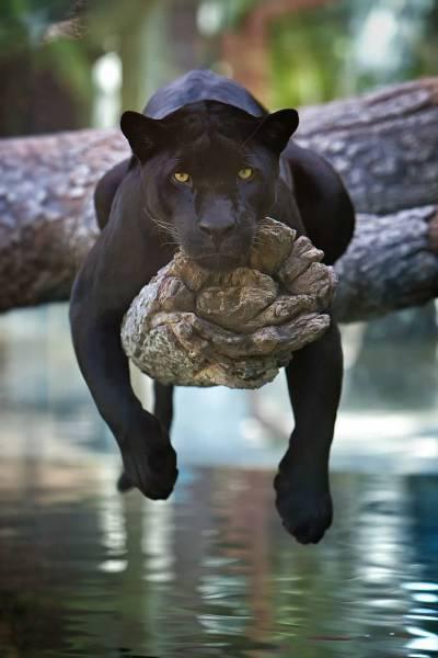 Fotografia pantera negra
