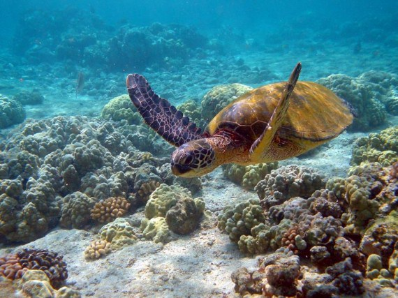 Fotografia tortuga marina nadando en el  mar