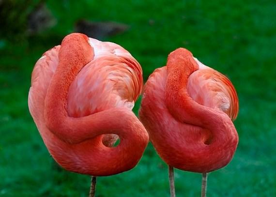 fotos de flamencos rosados