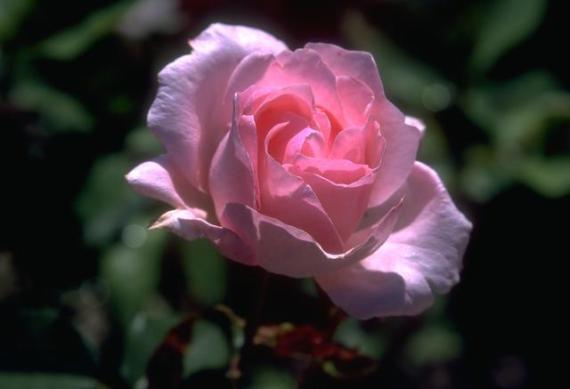Fotografia de rosa rosada