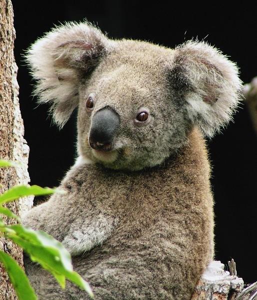 fotografia de koala