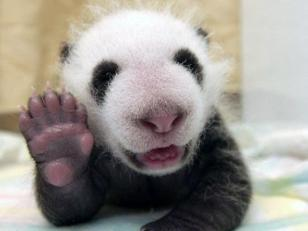 fotografia de oso panda saludando