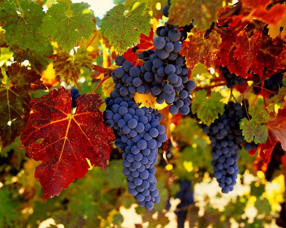 Imagen de parron de uvas