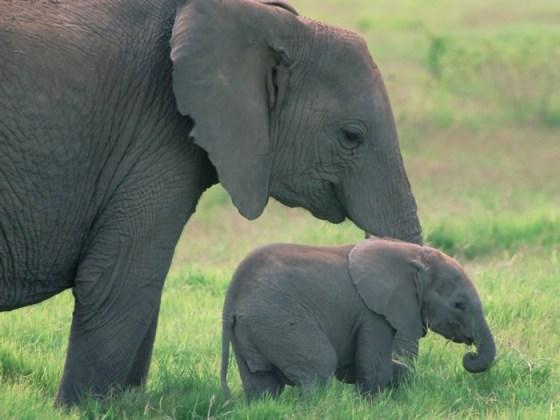 imagen de elefanta con su cria bebe