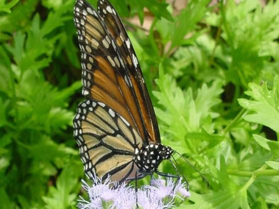 Imagenes mariposas monarcas