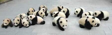fotografia de ositos panda bebes