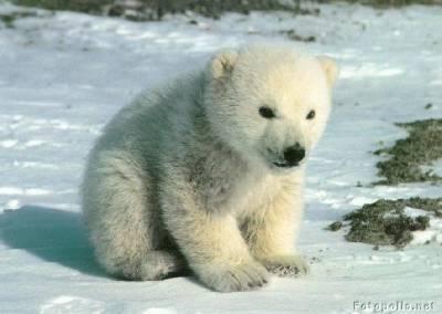 fotografia osos polares bebes cachorros