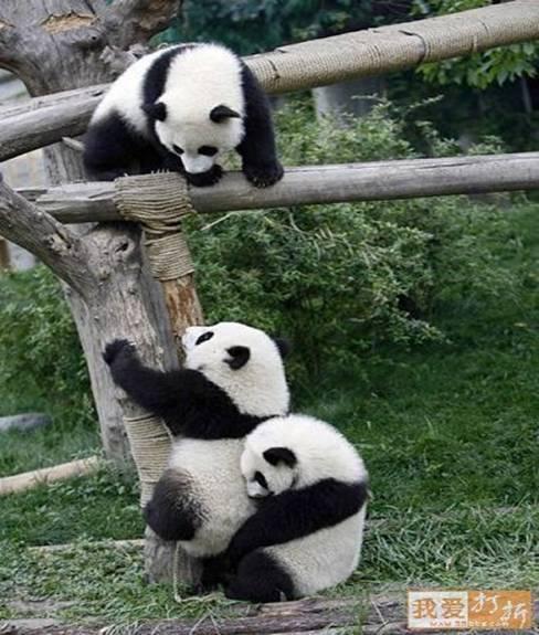 divertida imagen de osos pandas jugando