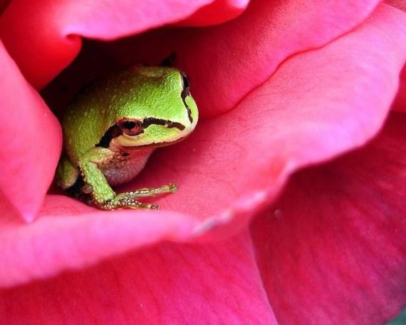 fotografia de una rana en una flor rosada