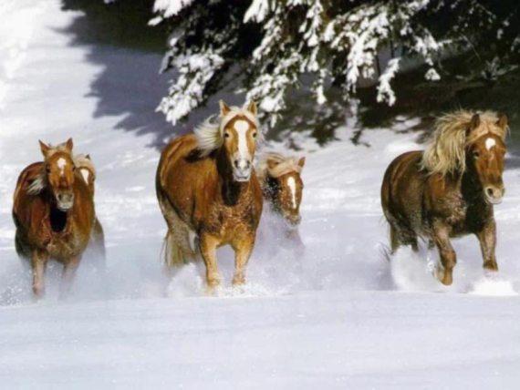 Fotografdia de caballos galopando por la nieve