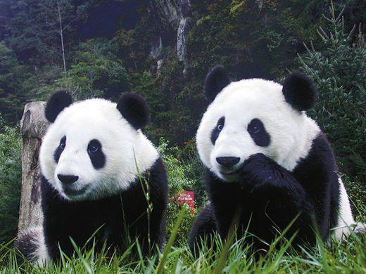 Foto osos panda