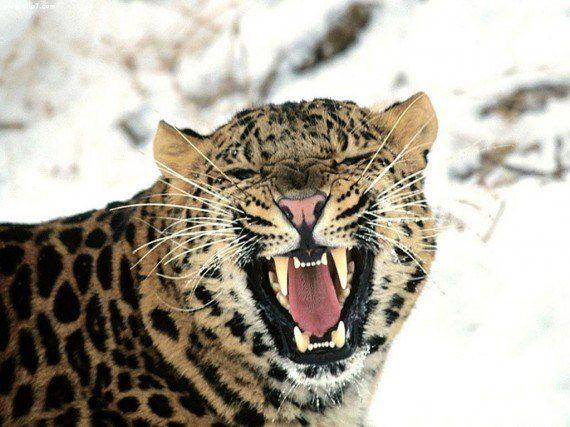 Fotografia de leopardo rugiendo