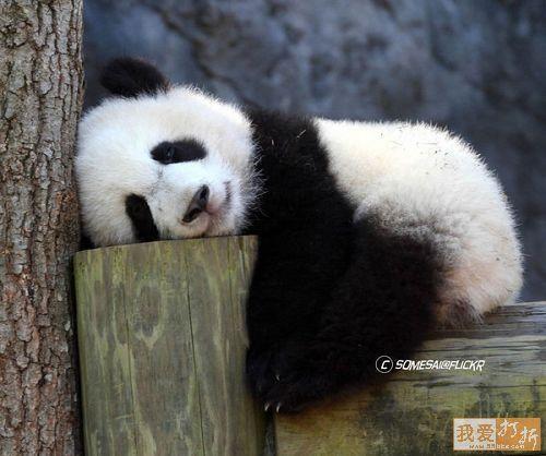 imagen de osito panda descansando