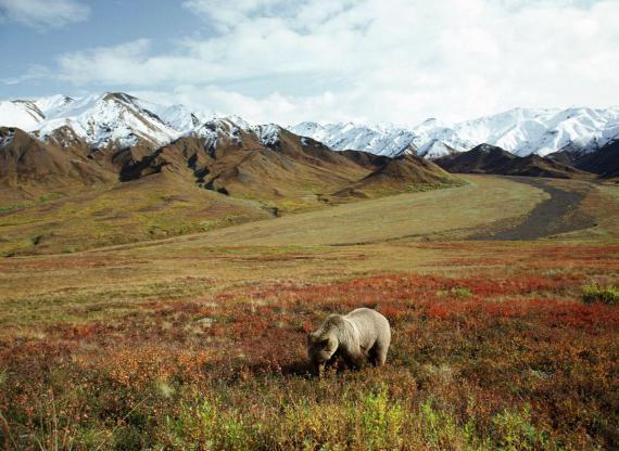 Imagen de oso en una pradera
