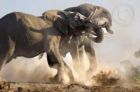 fotos de elefantes peleando