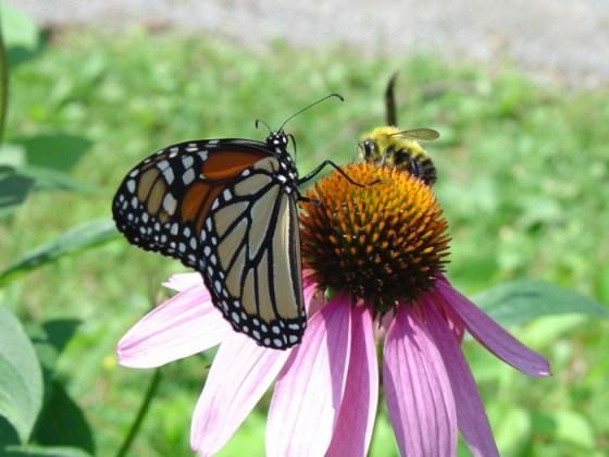 Imagen de mariposa monarca posada en una flor