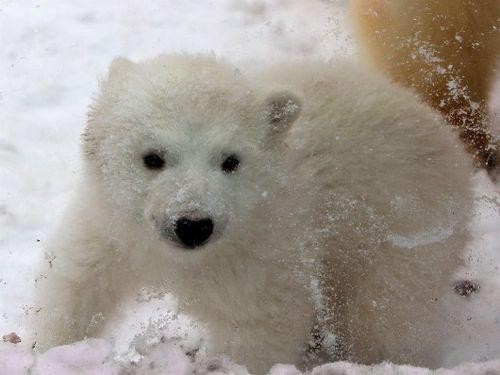 Imagen tierna de oso polar bebe